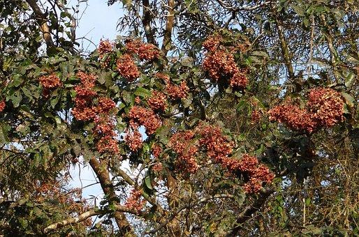 Terminalia Paniculata, Kinjal, Flowering Murdah