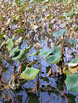 Lotus, Plants, Aquatic, Water Lily, Nymphaea Caerulea