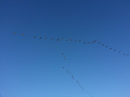 Migration, Birds, Migrating, Migratory, Flying, Flock