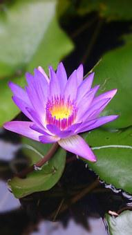 Lotus, Full, Lake, Outdoor, Plant, Nature, Peaceful