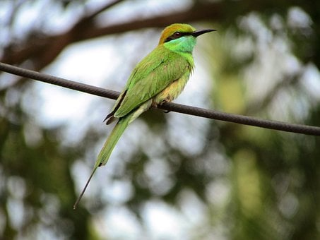 Beeeater, Small, Little, Green, Bird, Perched, Perching