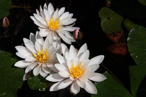 Water Lilies, Three, Nymphaea, Lake Rose