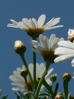 Tree Daisy, Marguerite, Argyranthemum Frutescens