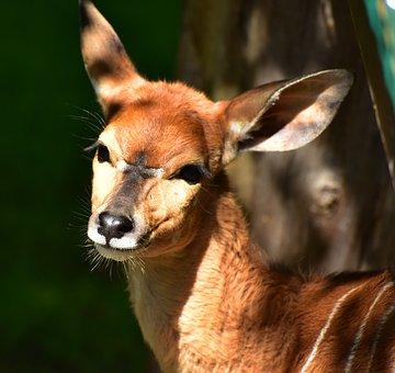 Nyala Antelopes, Antelope, Brown, Ears, Animal, Fur