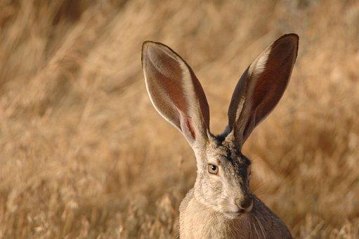 Face, Jackrabbit, Tailed, Black, Rabbit, Bunny, Animals