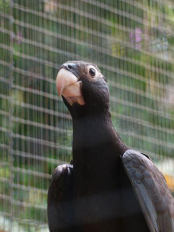 Great Vasa Parrot, Bird, Grey, Curious, Awakened