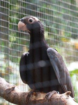 Great Vasa Parrot, Bird, Grey, Curious, Awakened