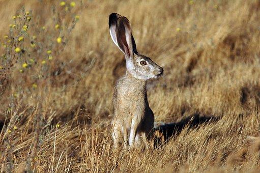 Animal, Jackrabbit, Tailed, Black, Rabbit, Bunny