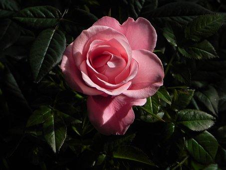 Rose, Pink, Blossom, Bloom, Flower, Nature, Fragrance