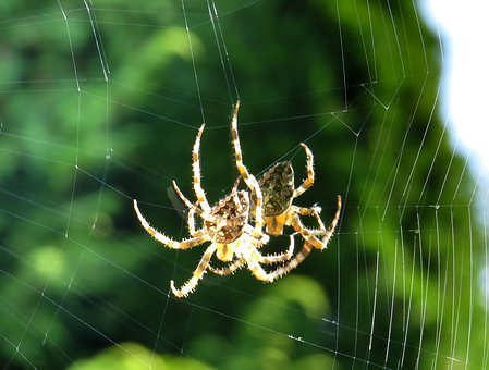 Cross Spider, Spider, Close Up, Cobweb, Insect, Nature