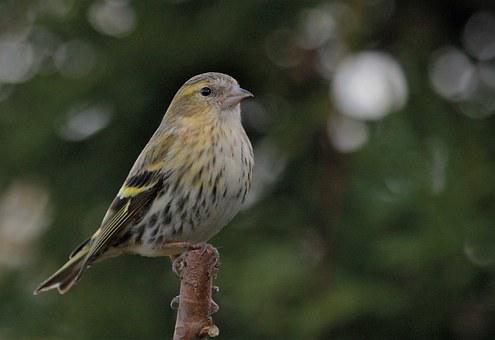 Bird, Perched, Feathers, Female, Siskin