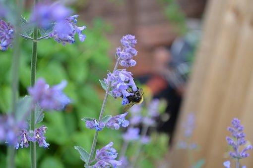 Catmint, Catnip, Purple, Flower, Blue, Herb, Close-up