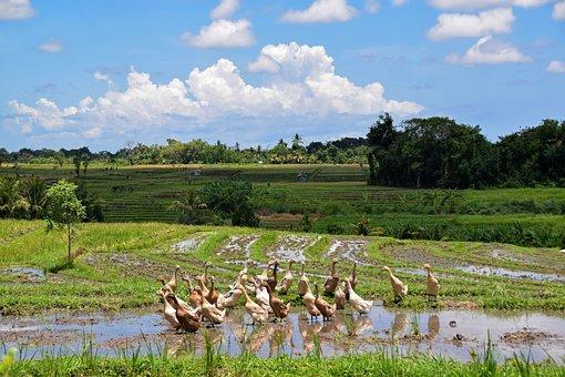Bali, Indonesia, Travel, Rice Fields, Landscape