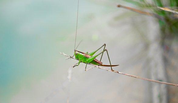 Santamontes, Cricket, Insect, Green, Nature