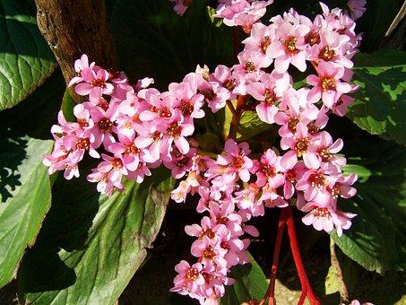 Leather Leaf Flower, Pink, Spring