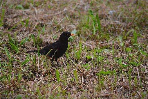 Merle, Bird, Animals, Nature, Wild, Animal, Ornithology