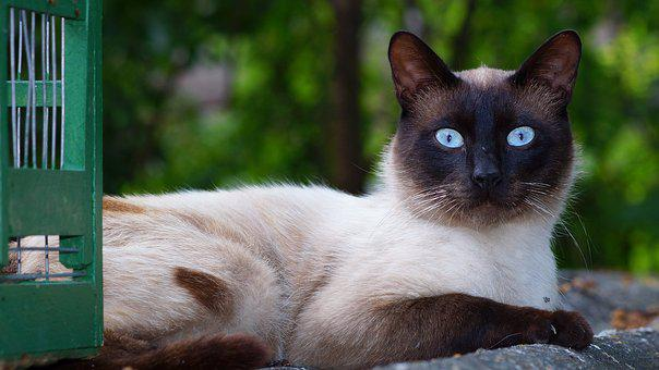 Cat, Siamese Breed, Pet Portrait, Curious, Neighbor