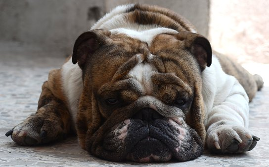 English Bulldog, Dog, English, Asleep, Pet, Puppies