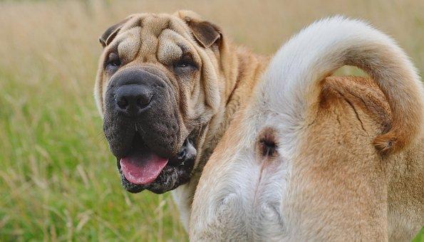 Dog, Sharpei, Animal, Ass