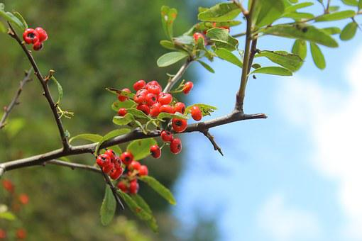 Plant, Pyracantha Fortuneana, Small Fresh, Red Berries