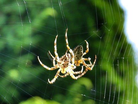 Cross Spider, Spider, Close, Cobweb, Insect, Nature