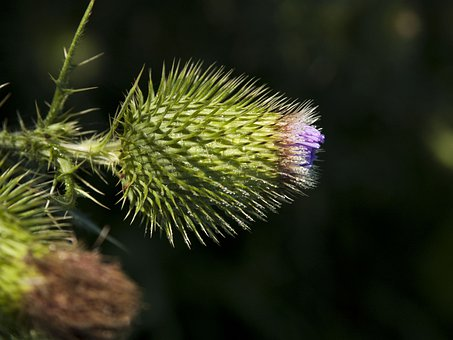 Wildflower, Flower, Thistle, Outside, Weed, Picker