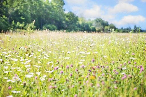 Wildflowers, Meadow, Tall Grass, Nature, Field, Summer