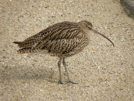 Curlew, Bird, Numenius, Beak, Coast