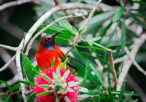 Sunbird Bird, Birds, Doi Ang Khang, Red Feather