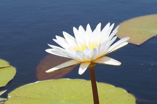 Flower, Water Lily, Africa, Okavango, Botswana