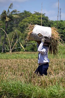 Bali, Indonesia, Travel, Paddy, Harvest, Rice Harvest