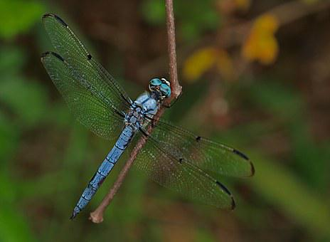 Dragonfly, Insect, Animal, Wing, Nature, Bug, Fly