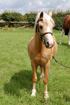 Palomino, Welsh, Pony, Animal, Pasture, Small Horse