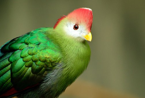 Red-crested Turaco, Bird, Red-green, Exotic, Wildlife