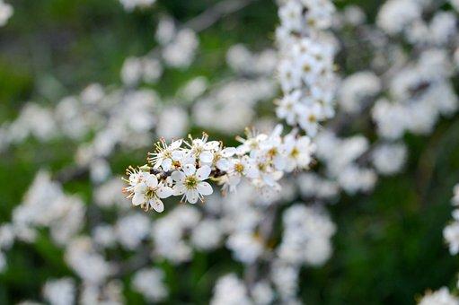 Spring, Sloe, Flower, Branch, Hungary