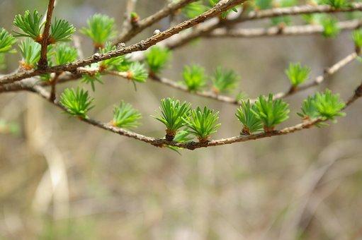 Taxodium, A New Leaf, Spring, Bud, The Leaves, Twig
