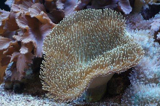 Mushroom Leather Coral, Coral, Underwater World