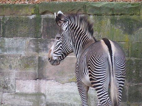 Zebra, Butt, Drawing, Animal, Wild Animal