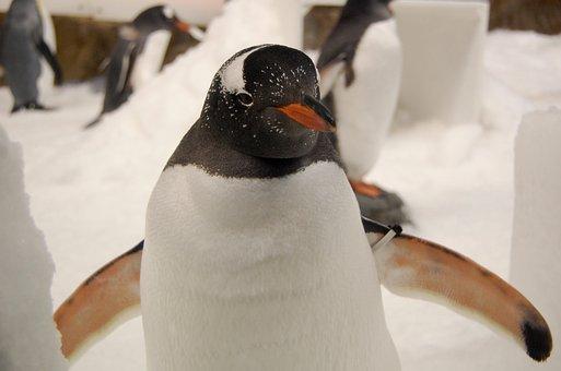Penguin, Gentoo Penguin, Aquarium