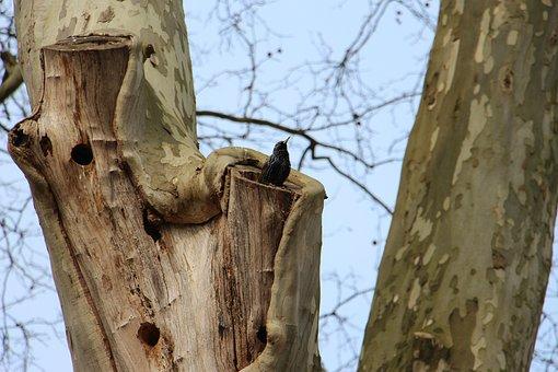 Starling, Tree, Nature, Bird, European