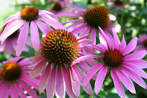 Coneflower, Pink Sun Hat, Blossom, Bloom, Plant, Flower