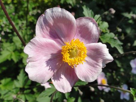 Anemone Tomentosa, Robustissima, Flower, Blossoming
