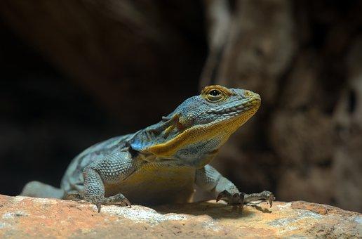 Blue Rock Iguana, Petrosaurus Thalassinus, Terrarium