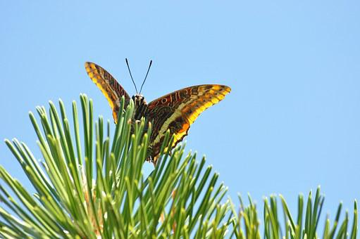 Nature, Butterfly, Strawberry Falter