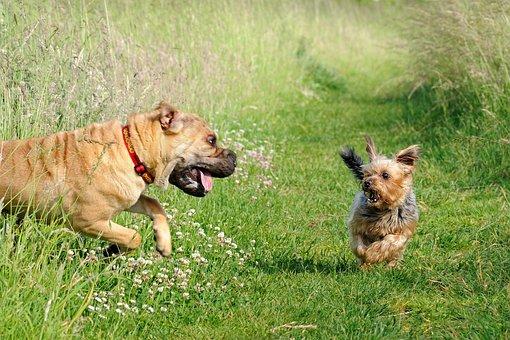 Dog, Fright, Joke, Run, Sharpei, Yorkshire, Animal