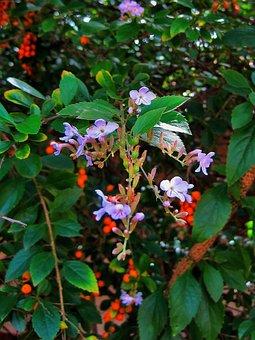 Duranta Tree, Tree, Bush, Duranta, Flowers, Dainty