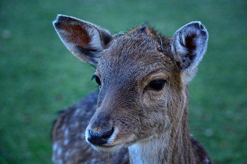 Head, Fallow Deer, Female, Portrait, Animal World, Fur