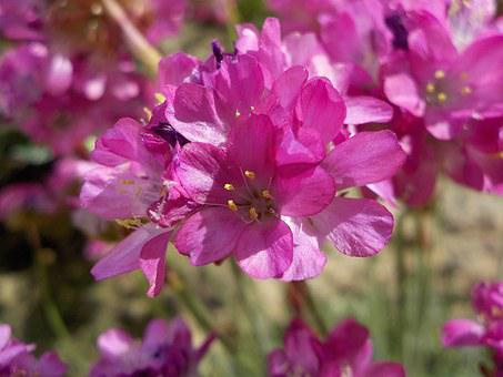 Turf Spain, Flower, Pink, Pink Flowers, Nature, Macro