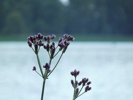 Flowers, Flower, Water, Dam, Wildflower, Nature, Plant