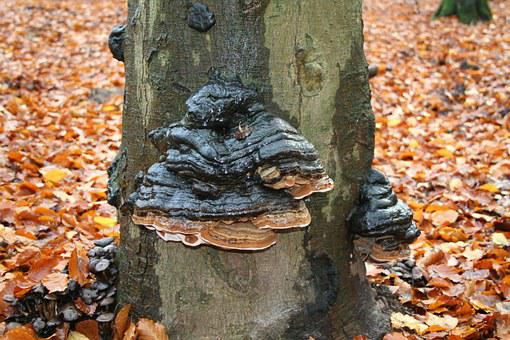 Three Mushroom, Autumn, Tinder, Leuvenum, Forest